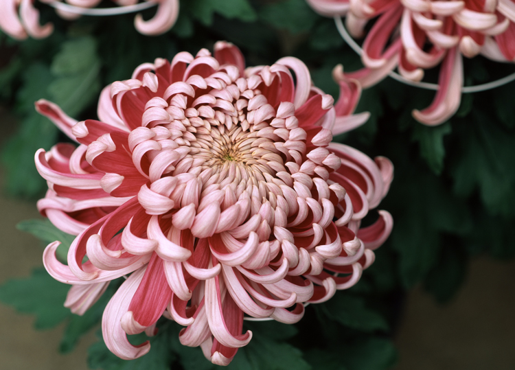 The meaning behind 8 different types of popular funeral flowers unlike other flowers the meaning behind chrysanthemums varies globally in america and europe the meanings focus on sympathy and honor mightylinksfo
