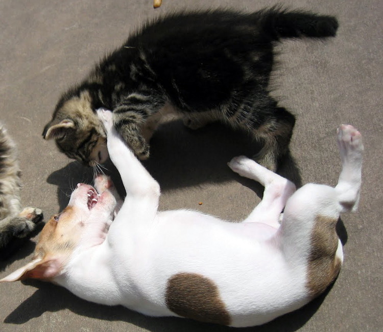 Puppy dog and kitten wrestling