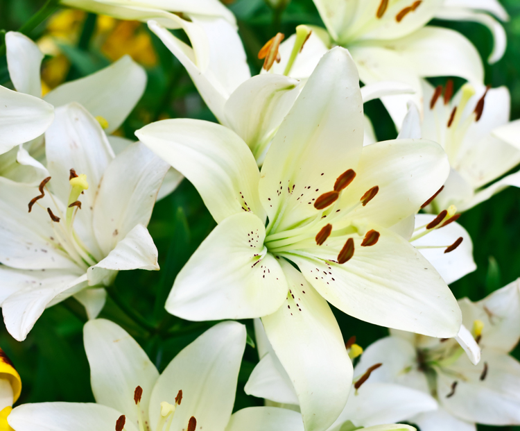 The meaning behind 8 different types of popular funeral flowers lilies mightylinksfo