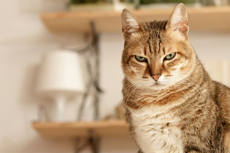 angry cat is judging you