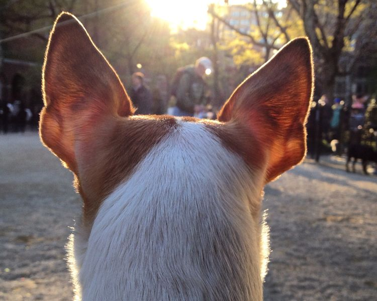doggy park sunset through ears