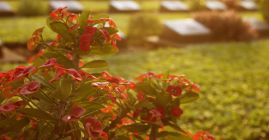 red flowers at cemetery